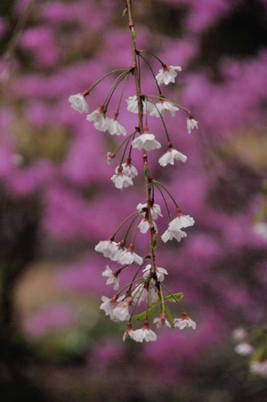 Sakura0504_02_2