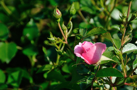 Roses_01_01