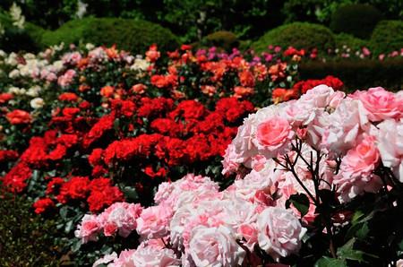 Roses_07_2