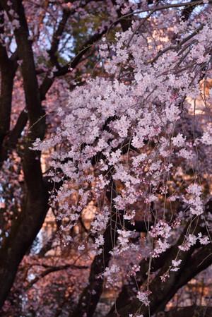 Sakura_03