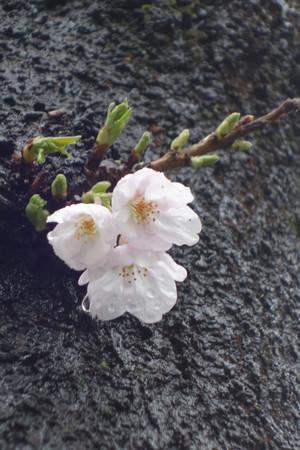 Kudan_sakura