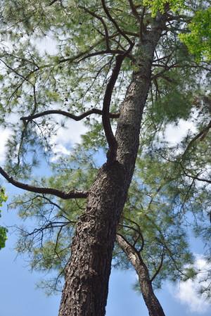Pinetree_03