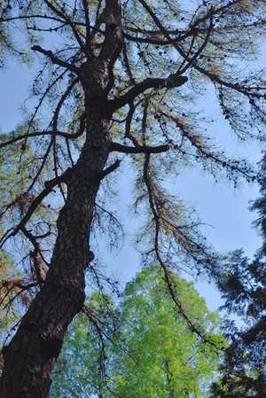 Pinetree_04