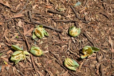 Tuliptree_05