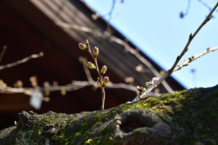Sakura_143