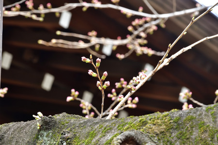 Sakura_151