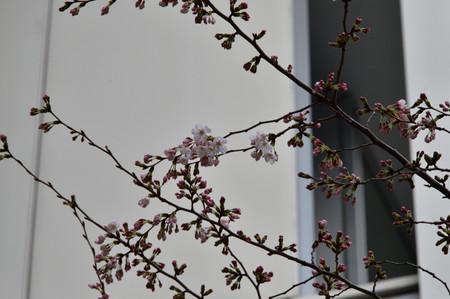 Sakura_153