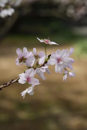 Sakura_20181031_124740