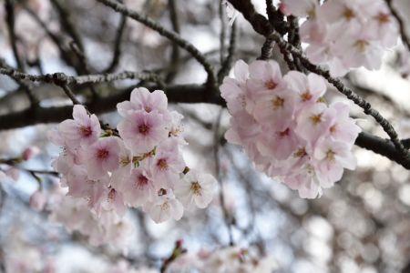 Sakura_01_1