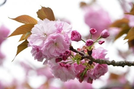 Sakura_01_2