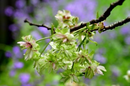 Sakura_02_2