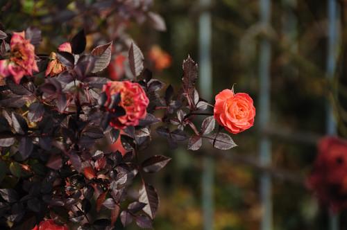 Roses_10