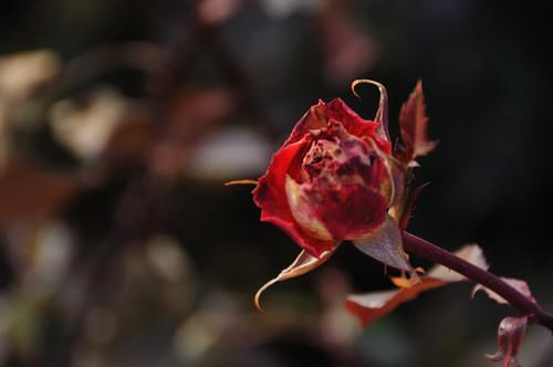 Roses_7