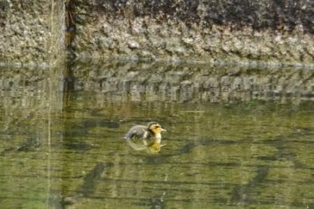 Duck0520_04