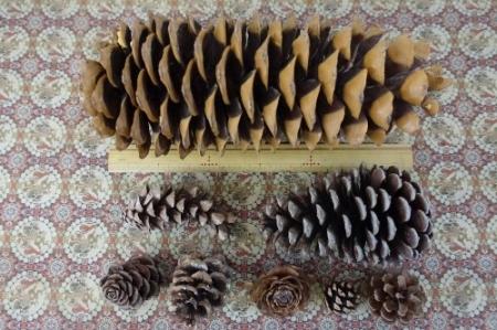 Pine0201