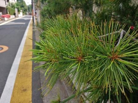 Pine0528