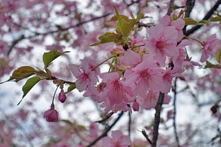 Sakura0225