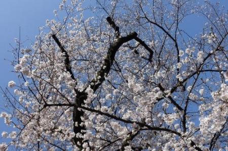 Sakura0317