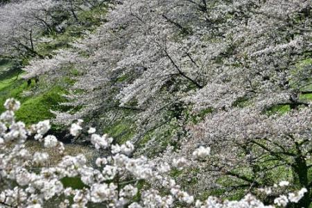 Sakura0402_08